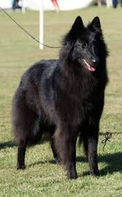 belgian shepherd rescue qld belgian shepherd dogs at lumineux australia groenendael and