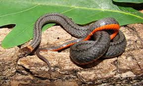 Found A Snake In My Backyard Snakes In Georgia The Good The Bad U2026and The Truth