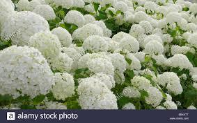white hydrangea garden hydrangea lace cap hydrangea hydrangea macrophylla