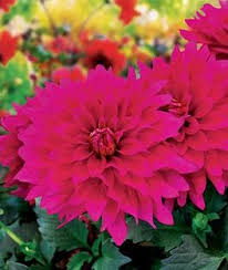 dahlias flowers dahlia seeds and bulbs cutting bedding annual flowers burpee