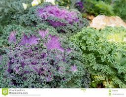 ornamental fringe mix kale garden stock image image 68662629