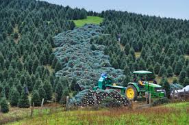 great prices on wholesale fraser fir trees buy online