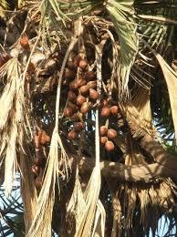 Palm Trees Fruit - hoka tree fruits picture of hokka trees diu tripadvisor