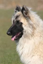 belgian sheepdog pups belgian sheepdog belgian tervuren herding dogs and belgian malinois
