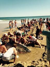 weekend cape cod massachusetts beachgoers try to save great white shark stranded on