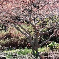 85 best trees images on japanese maple trees garden
