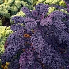 ornamental kale brassica oleracea redbor ornamental kale from