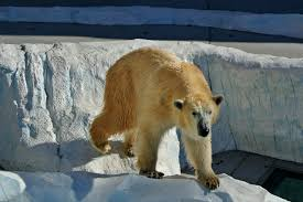 polar bears for kids cool kid facts