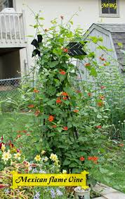 native mexican plants mexican flame vine climbing vine for monarch butterflies