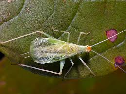 snowy tree cricket songs of insects
