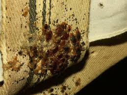 I Found A Bed Bug Now What Photos Of Bed Bugs In A Wooden Bed Frame Head Board And Box Spring