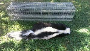 skunk removal sacramento u2013 master pest offers skunk control in