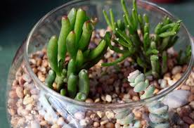 Indore Plants How To Grow The Pencil Cactus Or Euphorbia Tirucalli