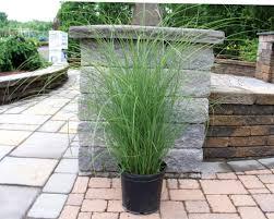 medford nursery ornamental grass