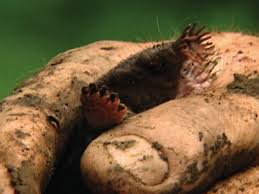 Moles Blind The Beauty Of Ugly Star Nosed Moles Nature Pbs
