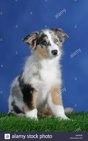 australian shepherd welpen 6 monate blue eyed australian shepherd dog stock photos u0026 blue eyed
