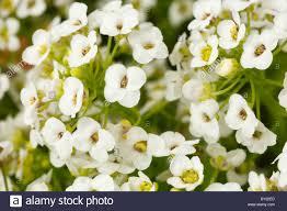 alyssum flowers flowers of sweet alyssum lobularia maritima garden annual stock