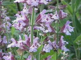 salvia flower salvia