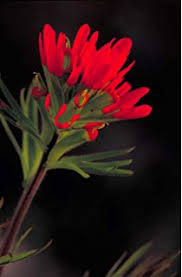 indian paintbrush flower 50 indian paintbrush castilleja indivisa flower
