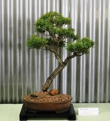 bonsai australian native plants native plants as bonsai u2013 exhibition 2015 wattos bonsai blog