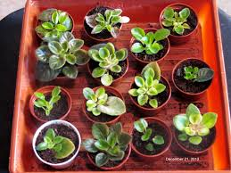 african violet grow light african violets yes you can grow them keep it simple go slowly