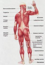 back muscular anatomy image collections learn human anatomy image