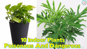 10 indoor plants that are poisonous and dangerous youtube