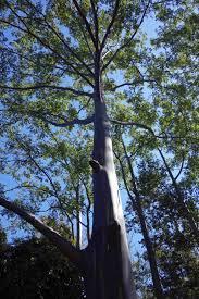 rainbow tree u2013 ray cannon u0027s nature notes