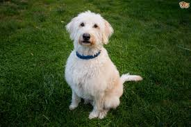 australian shepherd labradoodle labradoodle dog breed information buying advice photos and facts
