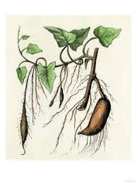 sweet potato vine growing culinary and ornamental sweet potatoes