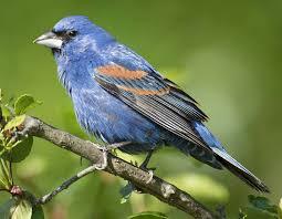 blue grosbeak mdc discover nature
