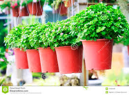Small Flower Pot by Small Purple Flowers In A Flower Pot Stock Photo Image 61797887