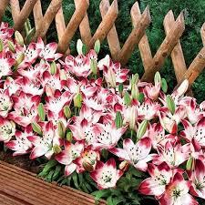Lily Flower Garden - 318 best flowers lilly images on pinterest flower gardening