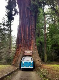 Chandelier Drive Through Tree Chandelier Tree California Usa Thesecretconsul Com