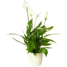 peace lilly peace free uk delivery post a flowers house plants