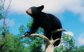 bear pic to download bear category