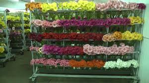 gerbera colors various colors of gerbera daisies