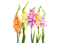 gladiolus flower gladiolus the august birth flower julias florist