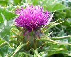 Weed Or Flower Pictures - milk thistle pictures flowers leaves and identification