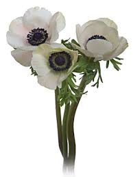 anemone flowers san diego wholesale flowers florist bouquets white anemone