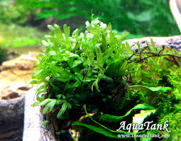 Aquascape Aquarium Plants Crepidomanes Sp Calicut Aquascape U0026 Aquatic Plants Pinterest