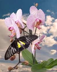 butterfly orchid images stock pictures royalty free butterfly