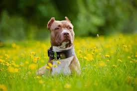 american pitbull terrier 1 a 10 friendly facts about american pit bull terriers mental floss