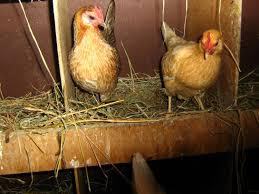 what is wrong with my egg backyard chickens
