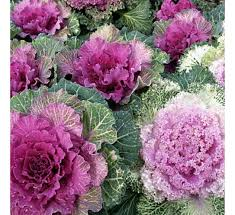 buy ornamental cabbage pink kale at cheap price india s
