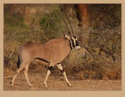 show us your oryx your africa images safaritalk