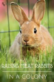 raising meat rabbits in a colony meat rabbits rabbit and happy