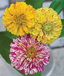 Zinnias Flowers Zinnia Seeds And Plants Bedding And Cut Flowers At Burpee Seeds