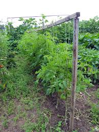 Tomatoes Trellis How To Grow Tomatoes Vertically Home On 129 Acres