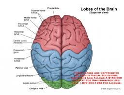 gallery brain diagram labeled human anatomy diagram